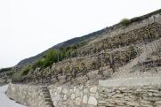 La plus vieille vigne de Cornalin du Valais au Clos de Tsampéhro.