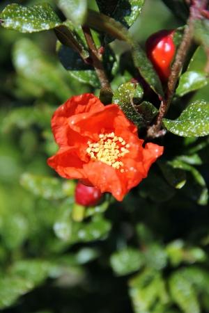 Fleur de grenadier.